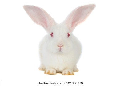 White rabbit with red eyes