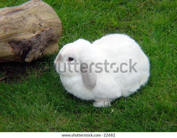 White Rabbit resting in the grass