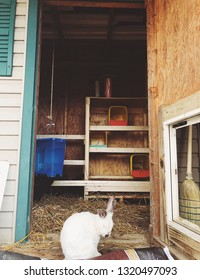 White rabbit standing in the doorframe of the chicken coop