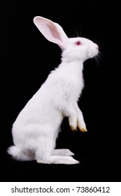 White rabbit standing on its hind legs. Side view. Black background