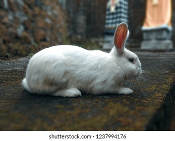 A White Rabbit Wandering The Yard Of The House At Tuka Village, Badung, Bali, Indonesia