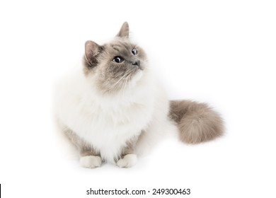 White ragdoll cat isolated on a white background