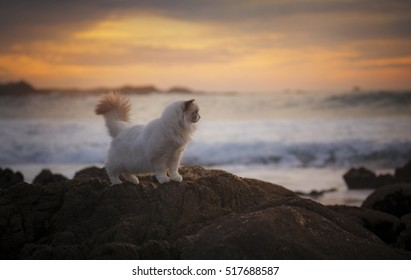 A white ragdoll cat looks out at the sea in Monterey, California.
