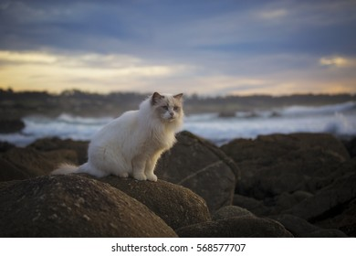 A white ragdoll cat sits along the rocky shores of the Monterey Peninsula, California.
