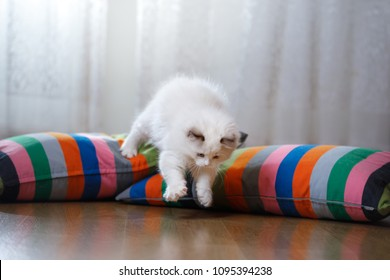 white Ragdoll kitten playing at home, inside room