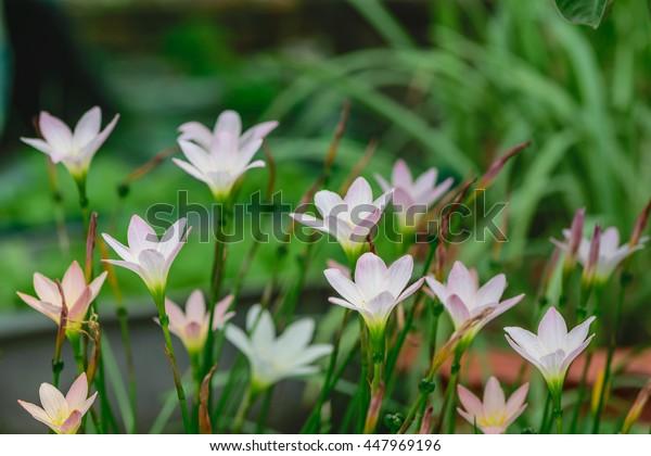 White rain lily, Zephyranthes, flower meadow