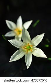 White Rain Lily (Zephyranthes spp.)