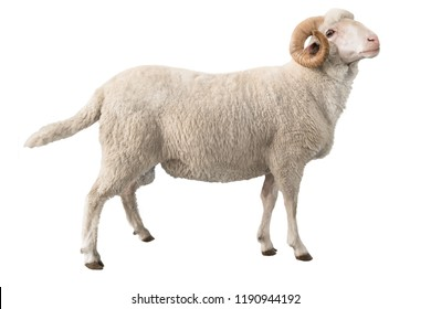 white ram isolated on white background