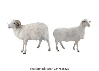 white ram and sheep isolated on white background