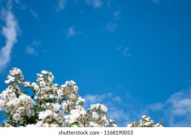 White rambling rose against blue sky.