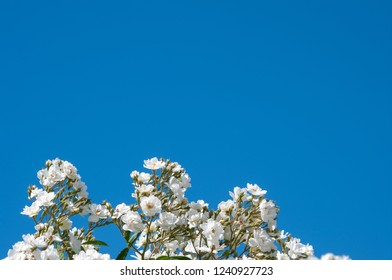 White rambling rose as bottom border of background with clear blue sky.