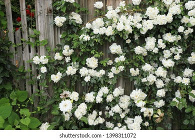 White rambling roses bloomed on a wooden fence