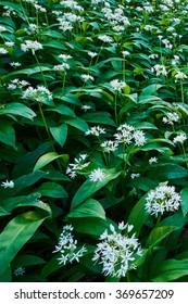 White Ramsons or Fools Garlic in flower