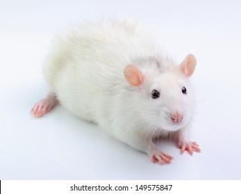 White rat