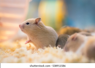 white rat in a cage