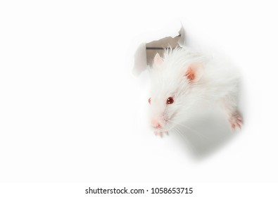White rat head white background