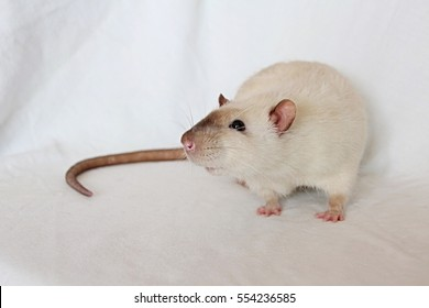 White rat on blanket, brown nose, pink ears and paws, small black eyes, long black tail, side perspective, norway rat