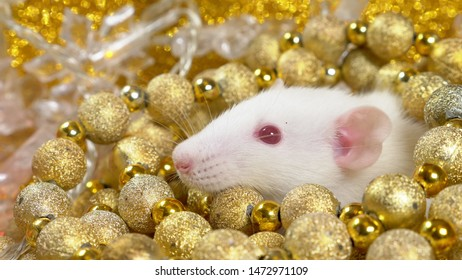 a white rat on a gold background peeps out of a nest of golden balls. close-up. symbol of 2020. copy space. symbol of wealth and abundance