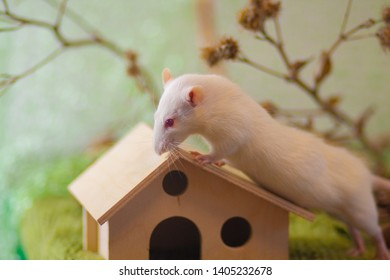 White rat sitting on the roof of the house. Decorative mouse crawling. Beautiful home rodent on green background.