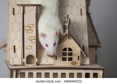 White rat in a wooden house. Mouse Palace. Rodent sitting on the roof.