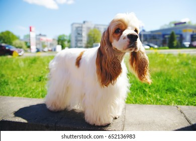 White and red American Cocker Spaniel dog posing outdoors in the city