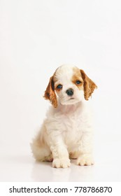 White and red American Cocker Spaniel puppy sitting indoors on a white background