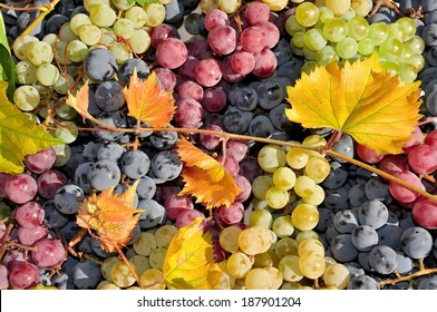White, red and black  wine grape, harvest