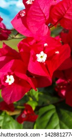 A white and red bougainvillea (Bougainvillea spectabilis) among other flowers of the same plant in an open garden outdoors.