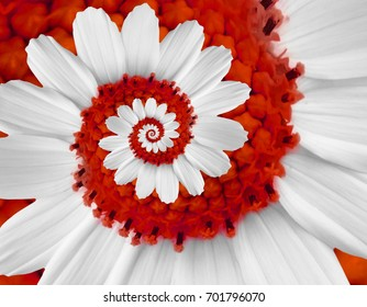 White red camomile daisy cosmos kosmeya flower spiral abstract fractal effect pattern background White flower spiral abstract pattern fractal Incredible floral twirl pattern round circle background