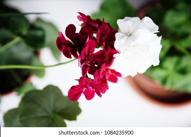 white and red couple, spanish ivy geranium with scarlet red flowers and white common geranium, Geranium Peltatum, Ivy-leaf, different in pair concept, house plant, settlement gardening,landscaping