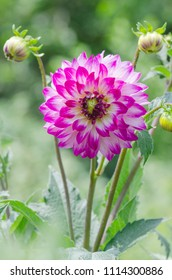 White red  flower. Dahlia tuberous flower. Beautiful purple dahlia. White dahlia with purple petals. Purple flowers are blossoming