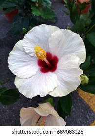 White with red Hibiscus flower