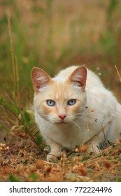 White and red hungry cat is hunting on grass in autumn field. Hungry Cat prepares to jump on mouse she is hunting. Hungry cat just before attack hunting in forest. Hungry cat with blue eyes hunting.