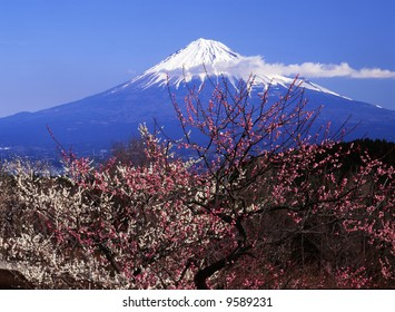 The white and red Japanese apricot blossom and Mt fuji