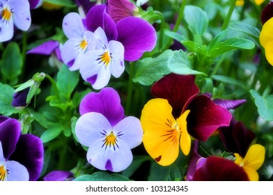 White, red, purple and yellow violets - Shutterstock ID 103124345