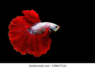 "White red Siamese Fighting fish ""Fancy Halfmoon Betta"",The moving moment beautiful of betta fish in Thailand. Betta splendens Pla-kad (biting fish), isolated on black background."