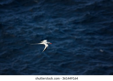 White Red-billed Tropicbird in flight low over dark blue sea, tend to avoid frigatebirds,  elegant pose with a flowing tail and wings spread, returning from sea to nesting place. Little Tobago.