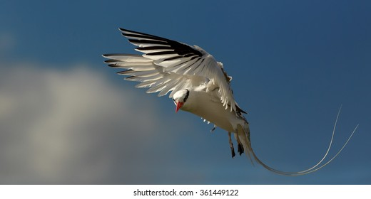 White Red-billed Tropicbird Phaethon aethereus in an elegant pose with a flowing tail and outspread wings against blue caribbean sky and clouds, during return to nesting place.
