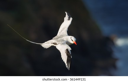 White Red-billed Tropicbird Phaethon aethereus in an elegant pose with a flowing tail and outspread wings against blurred dark cliffs, during return to nesting place. Little Tobago