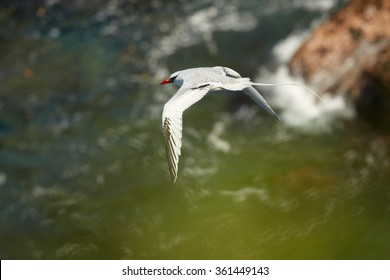 White Red-billed Tropicbird Phaethon aethereus in an elegant pose with a flowing tail and outspread wings against far sea and cliffs, during return to nesting place. Little Tobago