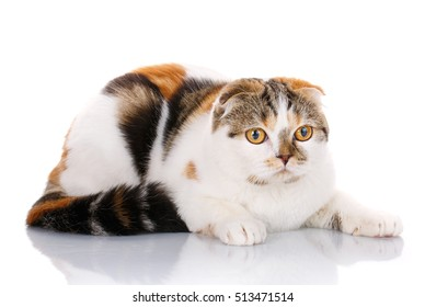 white and red-haired scottish fold lying sideways on a white background