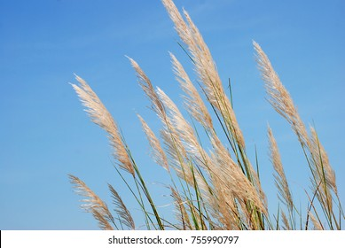 White Reed flowers Flowering begins in early winter, sway in the wind with blue sky background.