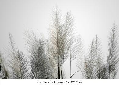 white reeds.