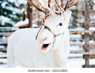 White Reindeer at Finland in Lapland in winter.