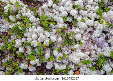 White reindeer moss (Cladonia stellaris) an important food source in arctic regions for reindeer and caribou during the winter months