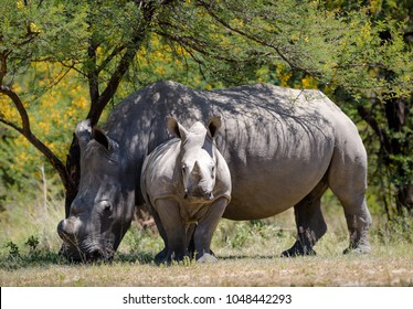 White rhino and baby white rhino in Matopos national park, Zimbabwe. Cute small baby rhino in savannah in Africa with mother white rhino