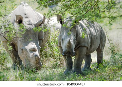 White Rhino baby and rhinoceros mother in Matopos national park Zimbabwe, Africa. Wildlife in africa with rhinos grazing