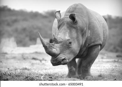 White rhino in black and white