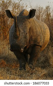 A White Rhino Bull