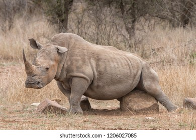 white rhino bull in the savanna scartching or itching his gentitals at a rock, concept for wildlife and body care